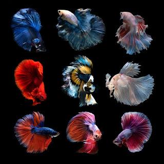 Ternyata Ini Kelebihan dan Kekurangan dalam Budidaya Ikan Cupang