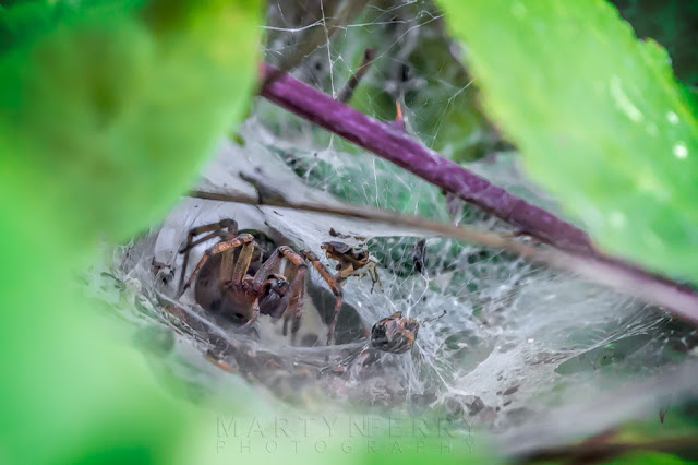 Macro image of a labyrinth spider in a hedge at Ouse Fen Nature Reserve