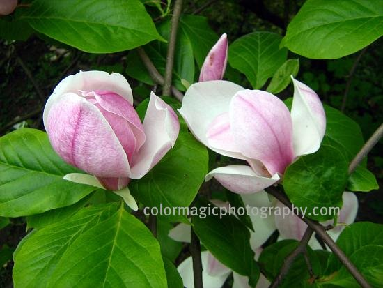 Magnolia buds on branches