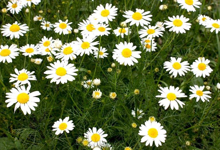 Лекарственные растения Ромашка аптечная Matric225ria