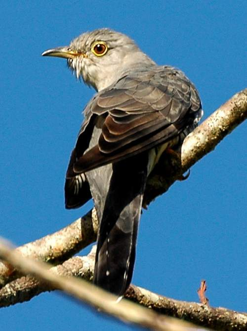 Birds of India - Image of Himalayan cuckoo - Cuculus saturatus