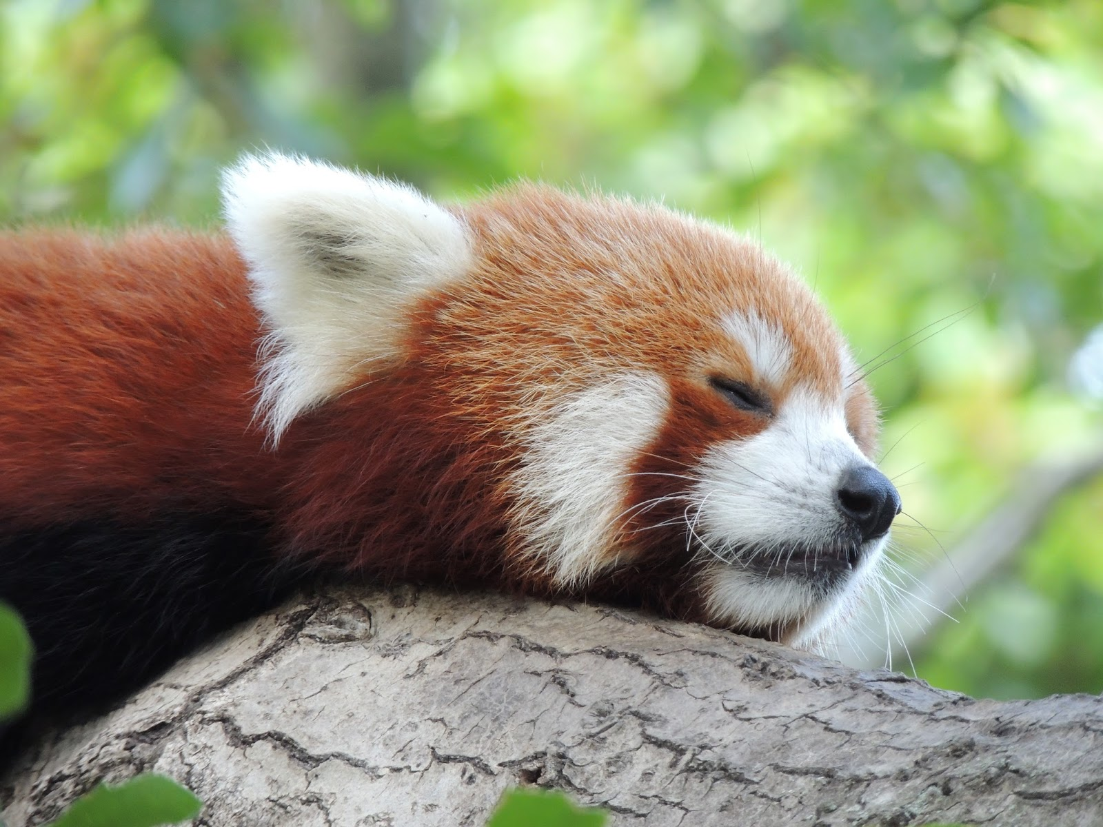 panda animal pandas skyenimals animals bear wallpapers sleeping redpanda type fossil heard information info hd cat