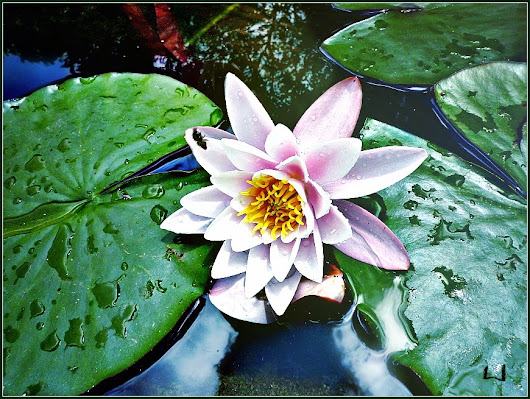 I ASKED A WATER-LILY TO BE MY MESSENGER TO YOU