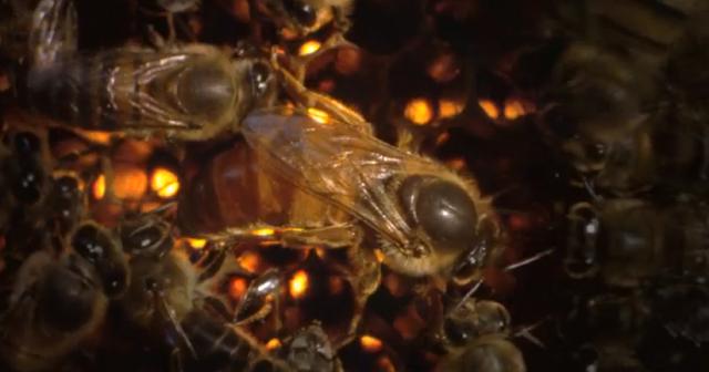 Εντοπισμός βασίλισσας και επιθεώρηση μελισσιού από το BBC: Τέτοιο VIDEO δεν ξανά είδατε!!!