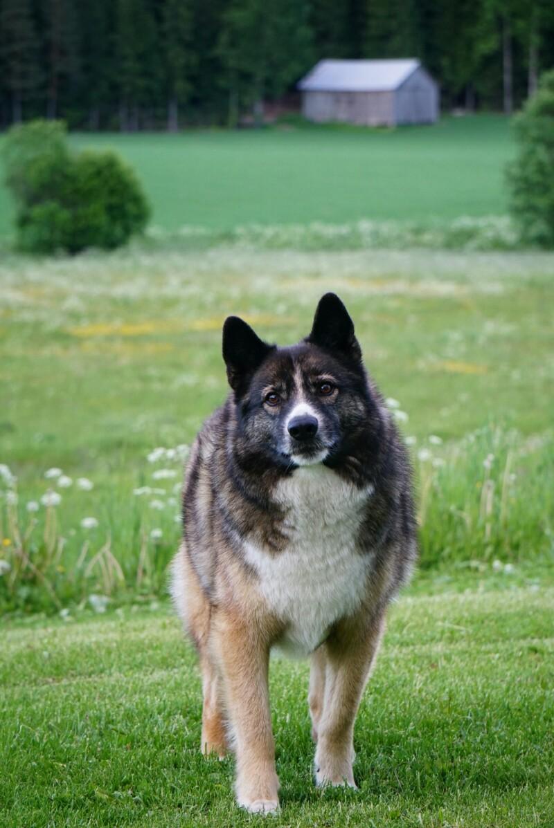 Tarmo-koira, sekarotuinen