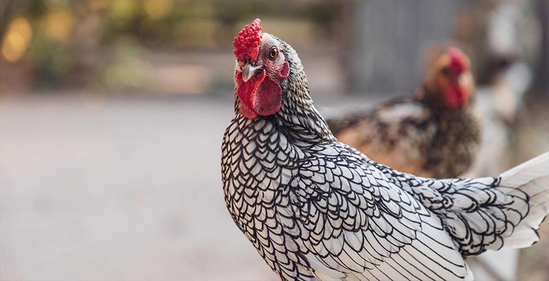 Vrai ou Faux sur les poules