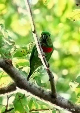 Indonesia populer dengan keanekaragaman satwanya 10 Jenis Burung Nuri Endemik Indonesia