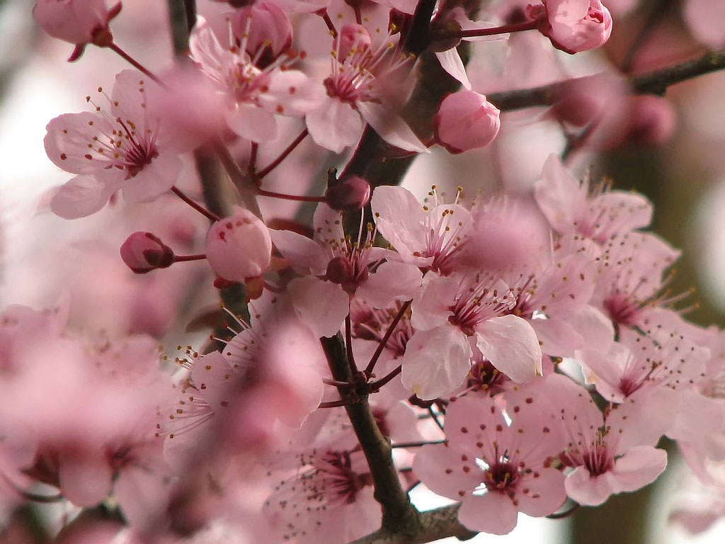 flowers for flower lovers.: Cherry Blossom pictures.