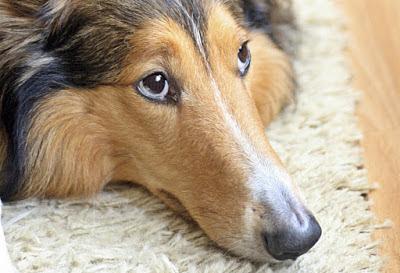 Jenis obat sakit mata pada anjing