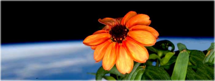 primeira flor a desabrochar no espaço - zinnia - scott kelly