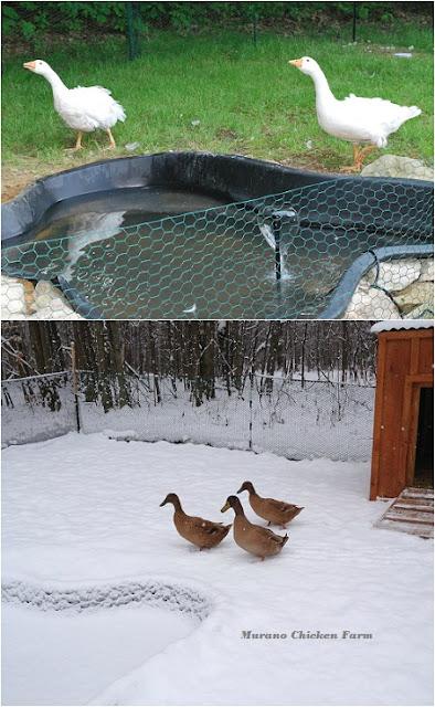 building a duck coop