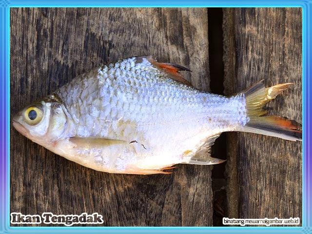 gambar ikan tengadak
