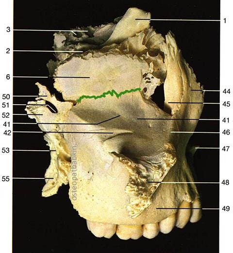 Шов верхней челюсти с  решетчатой костью: решетчато-верхнечелюстной шов, sutura ethmoidomaxillaris.