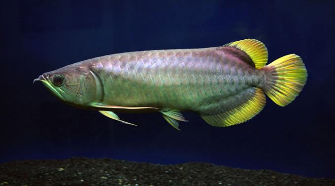 Kos Bela Ikan Arowana Yellow Tail