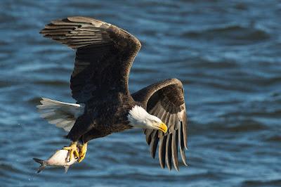 African fish eagle, Uganda birding tours, Uganda safaris