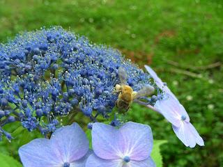 ミツバチと紫陽花