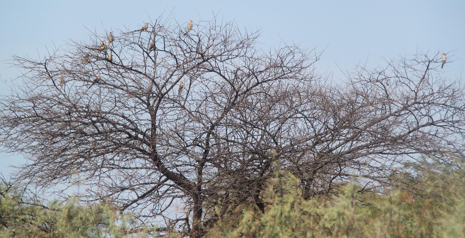 ornithondar