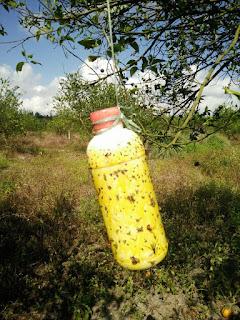 obat pembasmi lalat buah