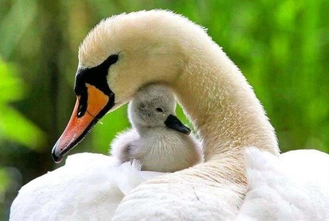 Un cisne cuidando a su polluelo