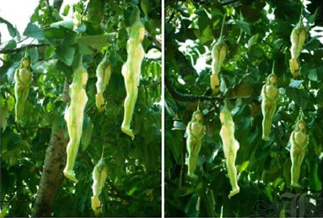 LOOK! A Mysterious Tree Was Found Bearing Women-Shaped Fruits In Thailand!