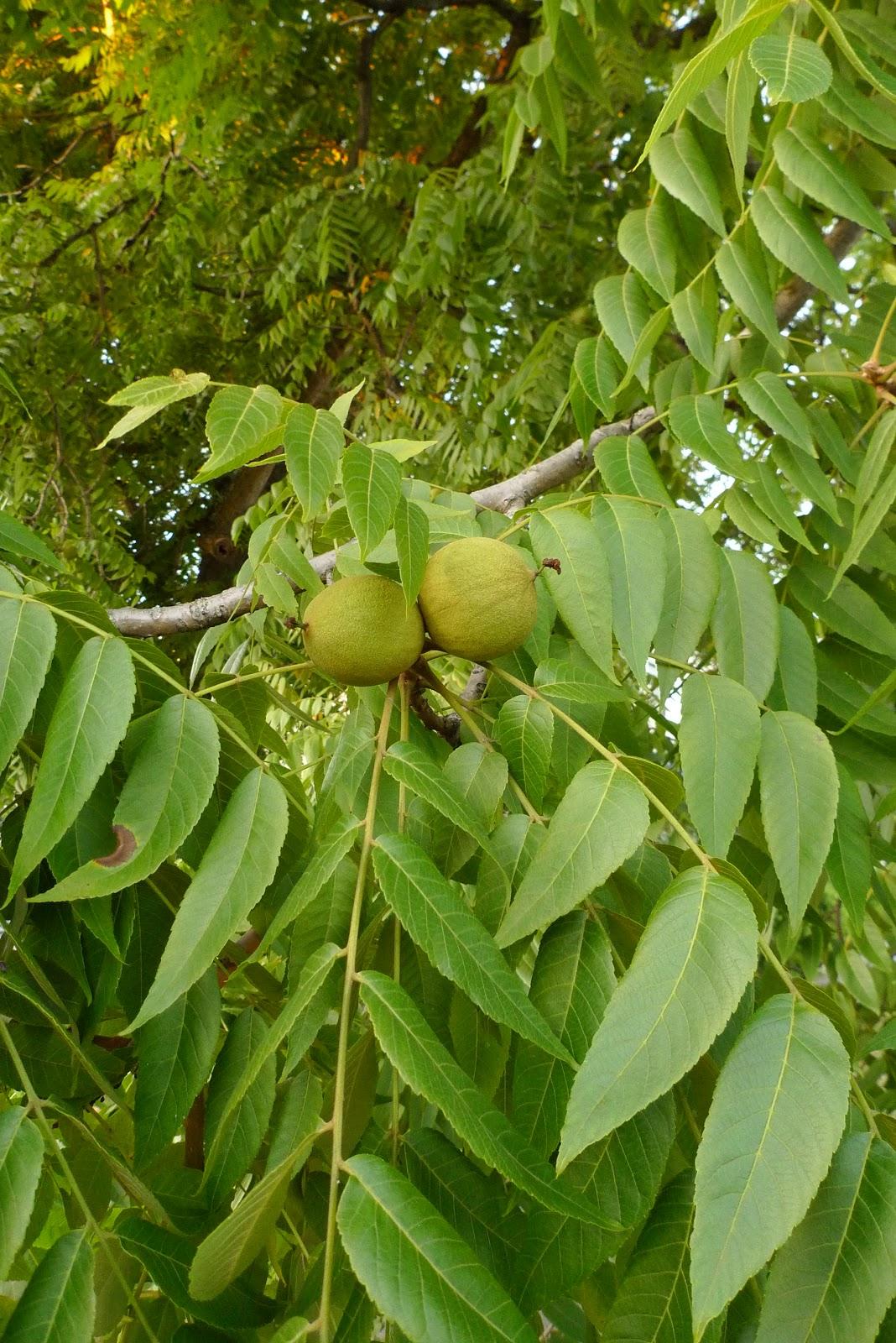 White walnut tree bark