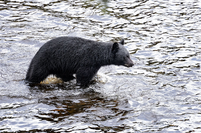Black Bear in Eagle Creek