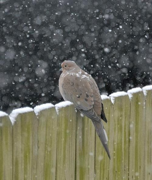 http://commons.wikimedia.org/wiki/File:Mourning_Dove_%288414557577%29.jpg