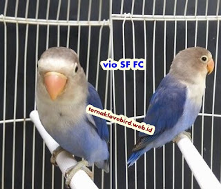 Cara menghasilkan anakan lovebird vio sf