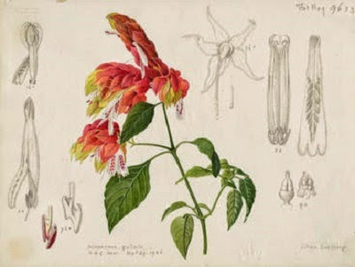 Justicia brandegeana - botanical drawing