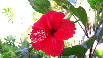 Hibiscus Flower with plant