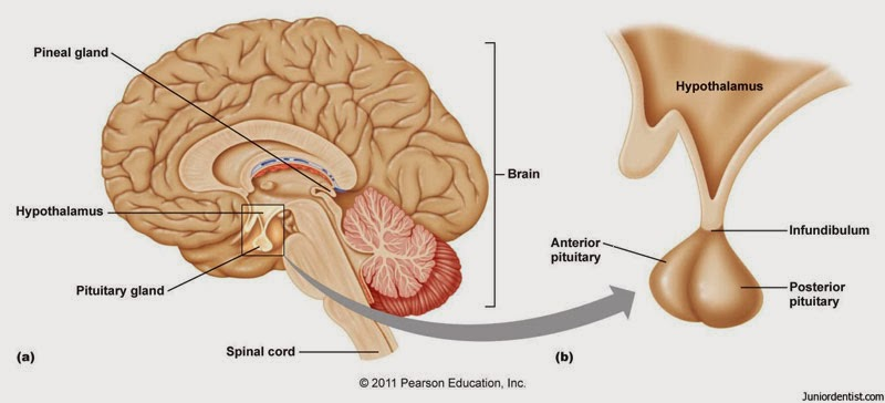 Where is the Pituitary Gland Located and What does the Pituitary ...