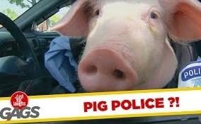 Funny Video – Piggy Cops & Dirty Psychics