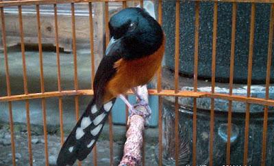 Burung Murai Batu Balak