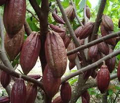 10 Benefits And Efficacy Of Cocoa Fruit For Health - Healthy t1ps