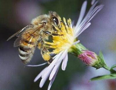 mengenal jenis jenis lebah penghasil madu