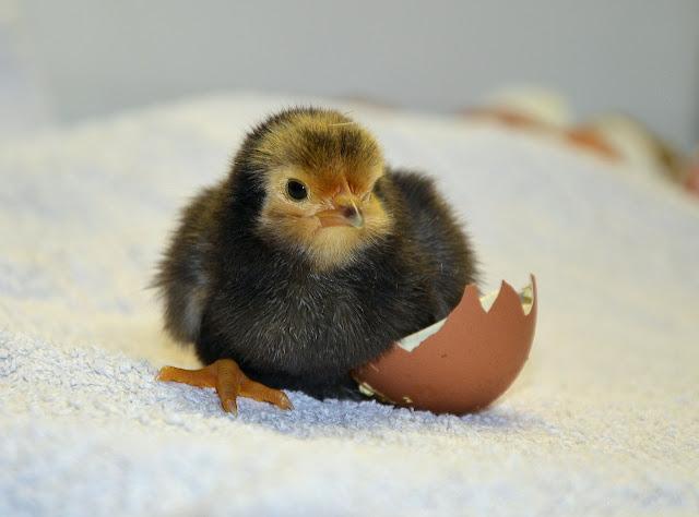 Penyebab Gagal Menetaskan Telur