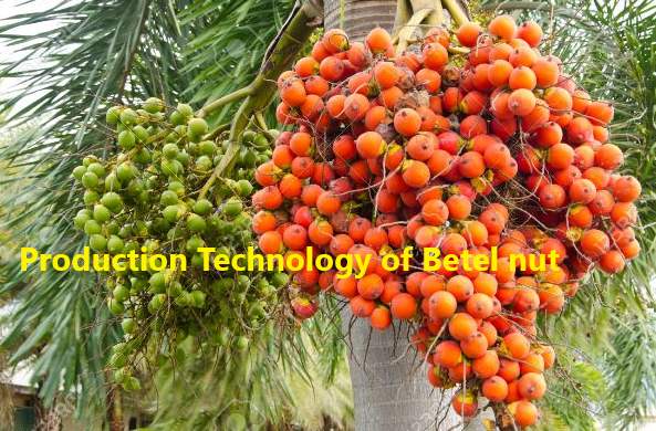 How to Grow Betel nut