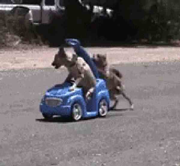 Dogs are pushing a toy car one pushing.