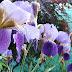 Iris; l'arcobaleno in giardino
