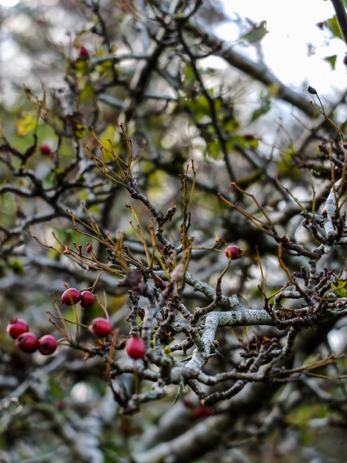 Almost bare branches of a hawthorn tree and some red berries.
