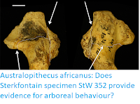 http://sciencythoughts.blogspot.co.uk/2018/01/australopithecus-africanus-does.html