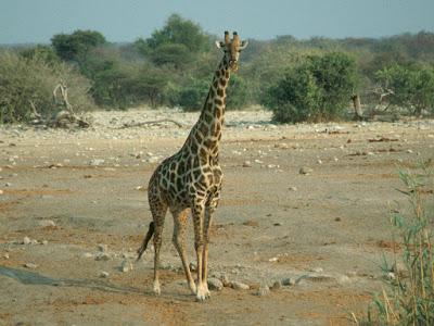 Namibia, Etosha National Park, safari, Africa