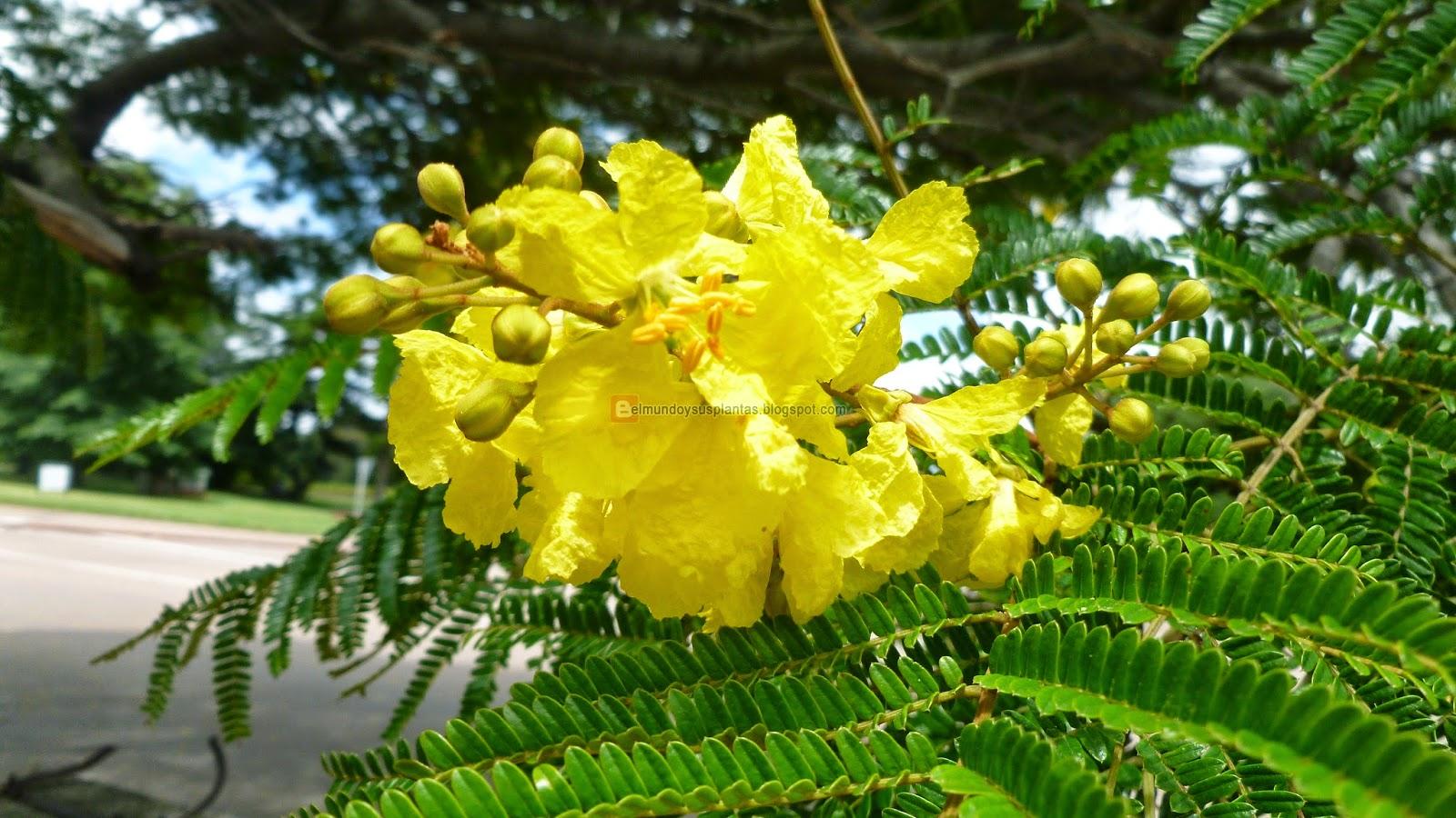 Flores de Peltophorum dubium