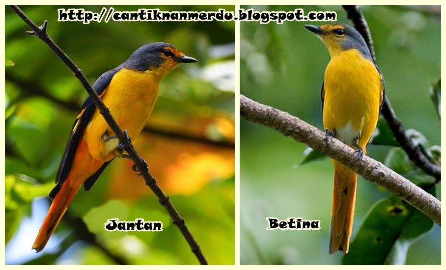 Burung Mantenan Sepah Jantan Dan Betina Mantab Juga Buat Masteran