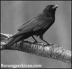 Mitos suara burung gagak