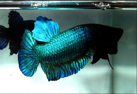 Ikan Cupang Adu Super