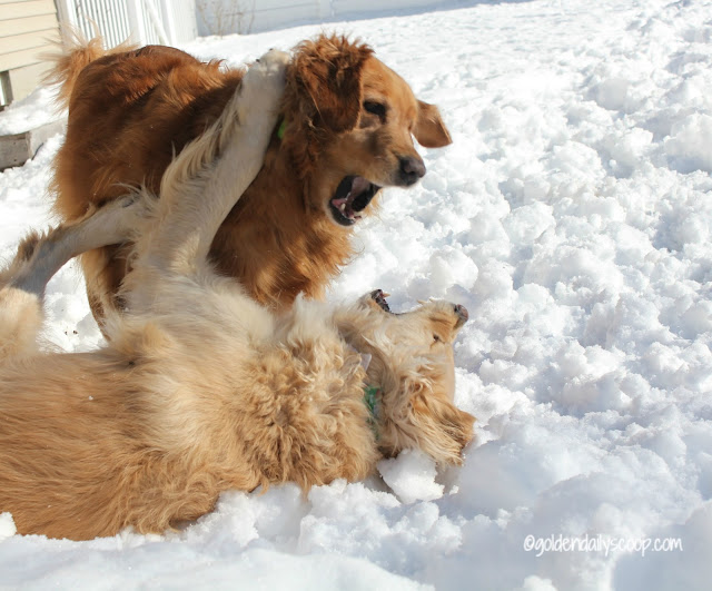 golden retriever dogs playing in the snow #wordlesswednesday