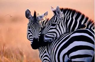2 days Lake Mburo national park tour, tour lake mburo national park, safari to Lake Mburo National Park. wildlife in Lake Mburo national park, Uganda wildlife viewing, Uganda game viewing, Mihingo Lodge, Archadia Lodge, Rwonyo Camp, Mantana Lake Mburo park Camp, book accommoddation Lake Mburo national park