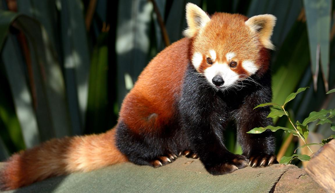 El panda rojo - Biología