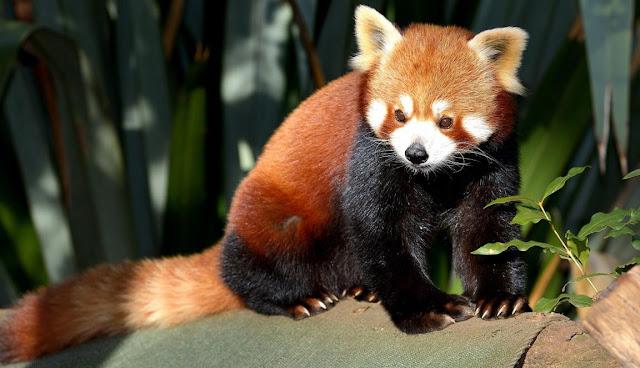 Panda rojo y biologia